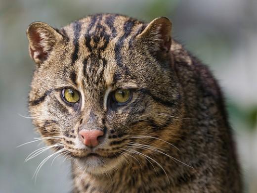Exotic Looking Pet Cats