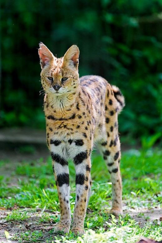 Get to Know the Serval Cat The Most Popular Exotic Pet Cat and 10 Other Small Wild Cats in the World